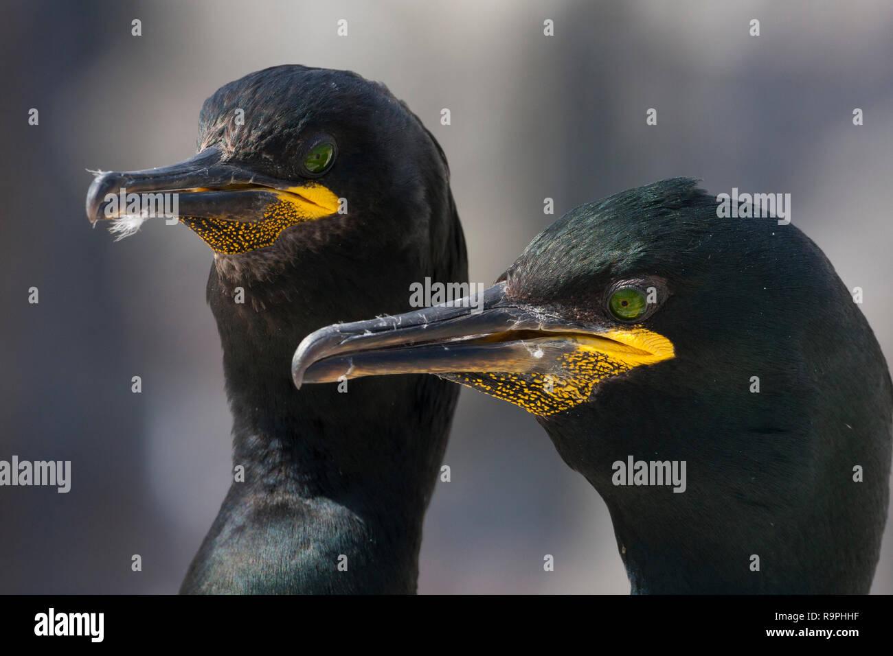 European Shag (Phalacrocorax aristotelis), close-up of two adults - Stock Image