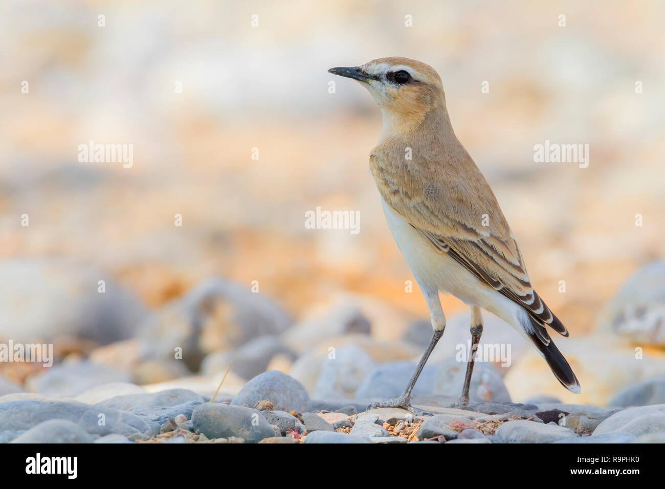 Isabelline Wheatear (Oenanthe isabellina), adult standing on the groundin Oman - Stock Image