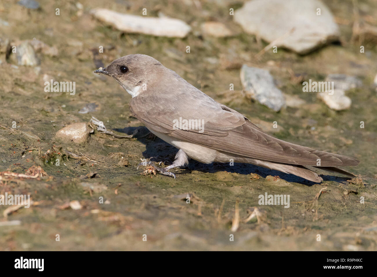 Pale Crag Martin (Ptyonoprogne obsoleta arabica), adult collecting mud for the nest in Oman - Stock Image