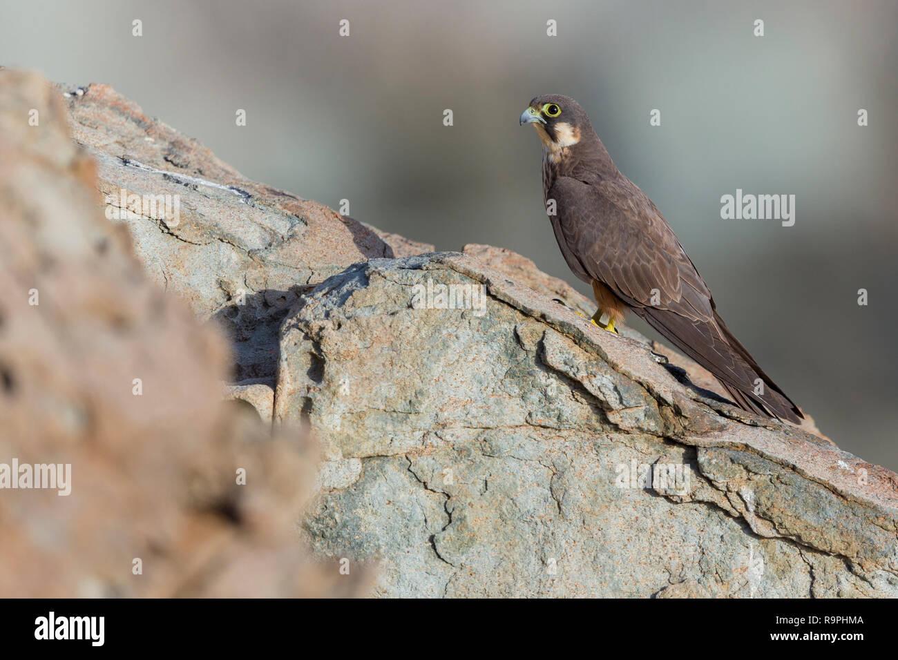 Eleonora's Falcon (Falco eleonorae), - Stock Image