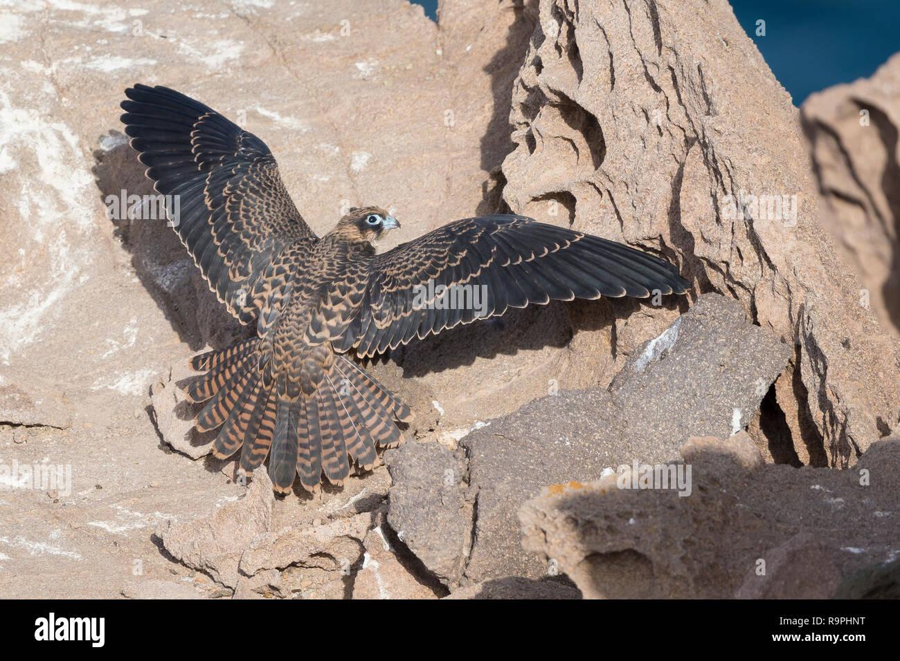 Eleonora's Falcon (Falco eleonorae), juvenile spreading its wings on a rock - Stock Image