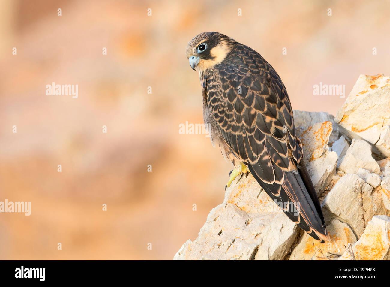 Eleonora's Falcon (Falco eleonorae), juvenile perched on a rock - Stock Image