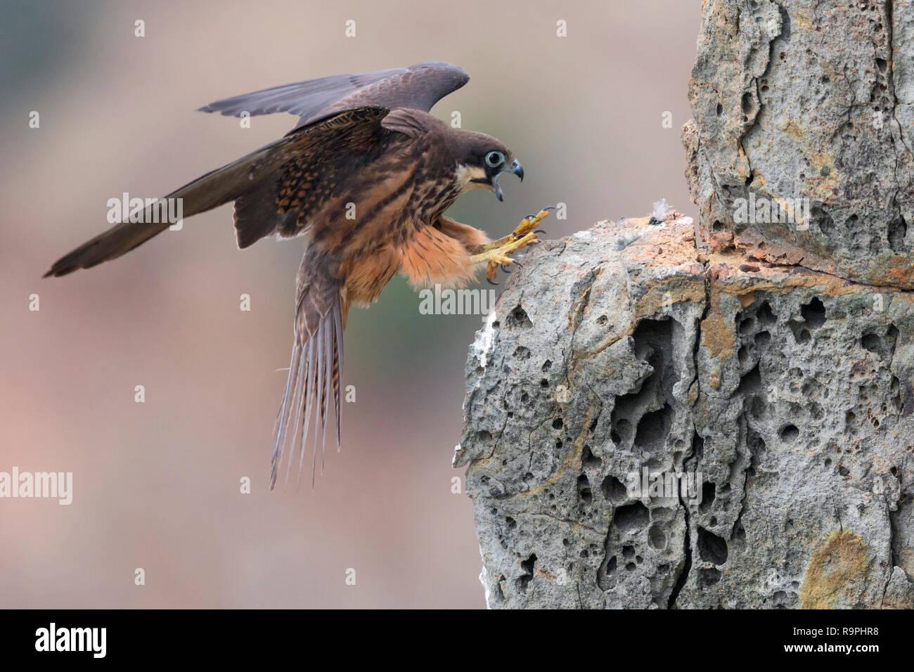 Eleonora's Falcon (Falco eleonorae), light morph adult landing on a rock - Stock Image