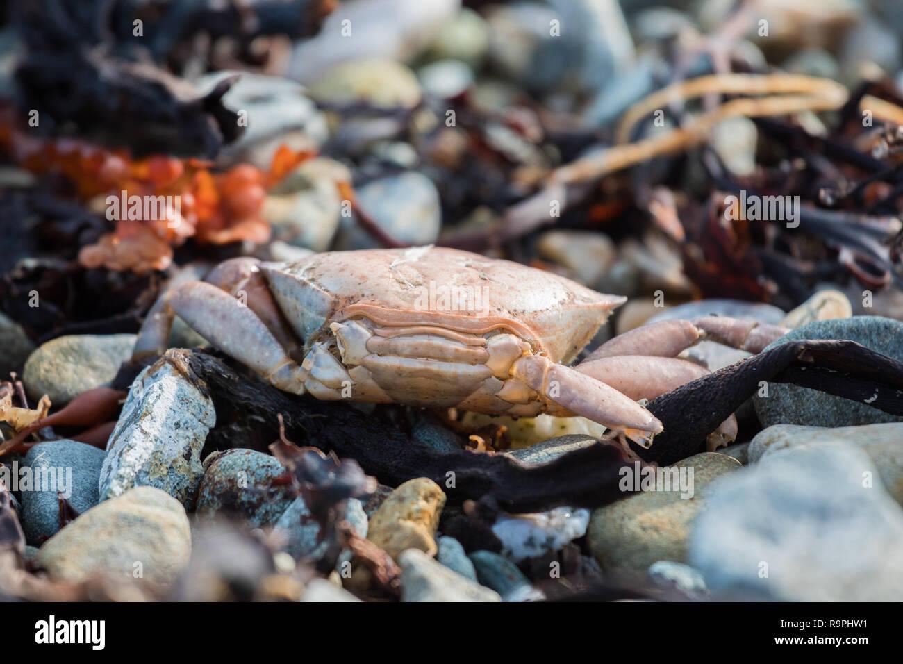 Dead crab on a shingle beach on Fetlar. Stock Photo