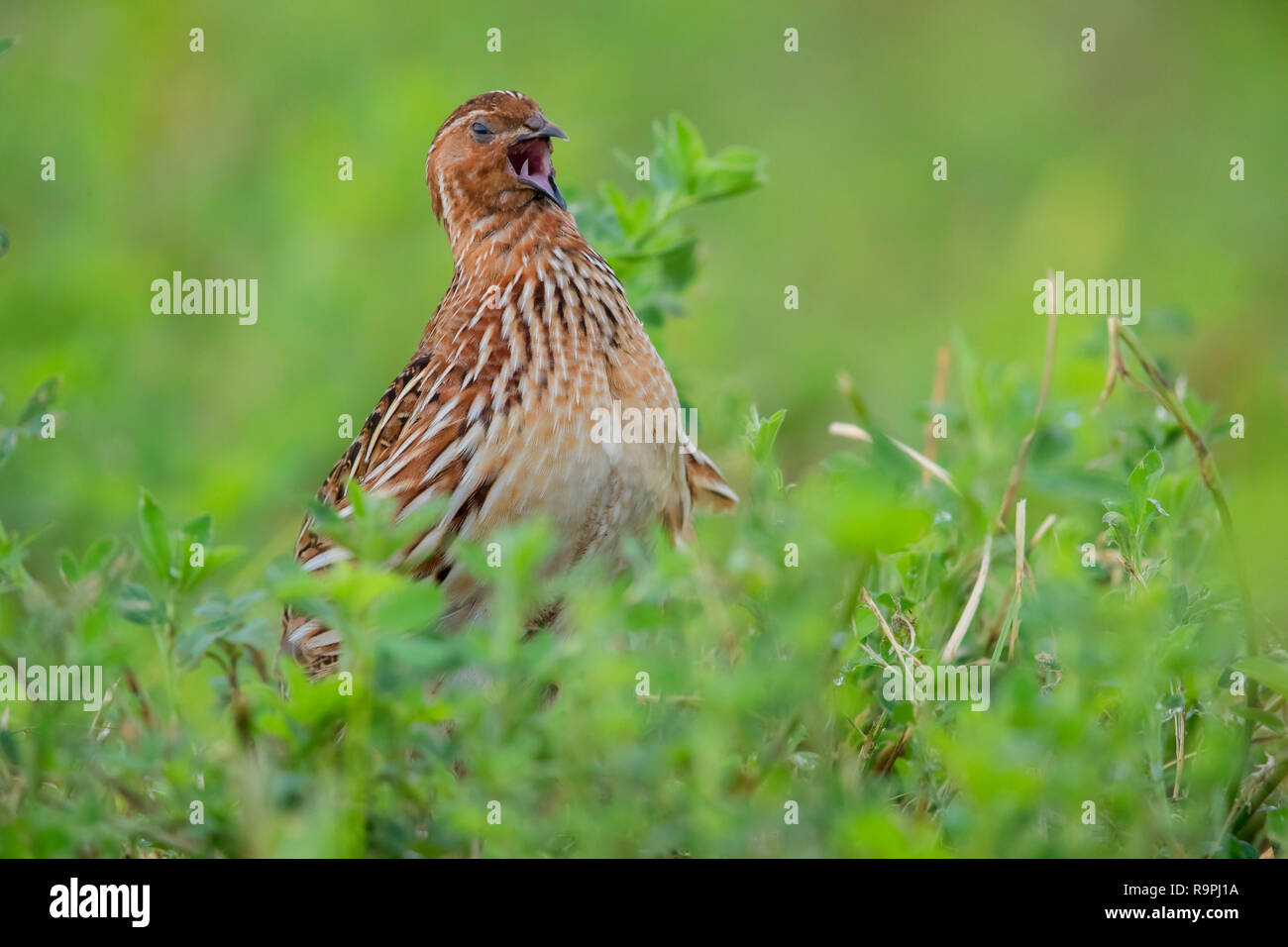 Common Quail (Coturnix coturnix), adult male singing in an Alfalfa field - Stock Image