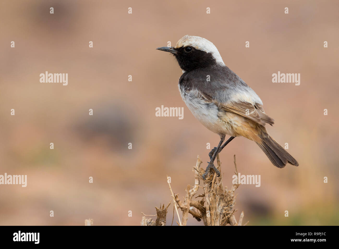 Red-rumped Wheatear (Oenanthe moesta), adult male standing on a bush in Morocco - Stock Image
