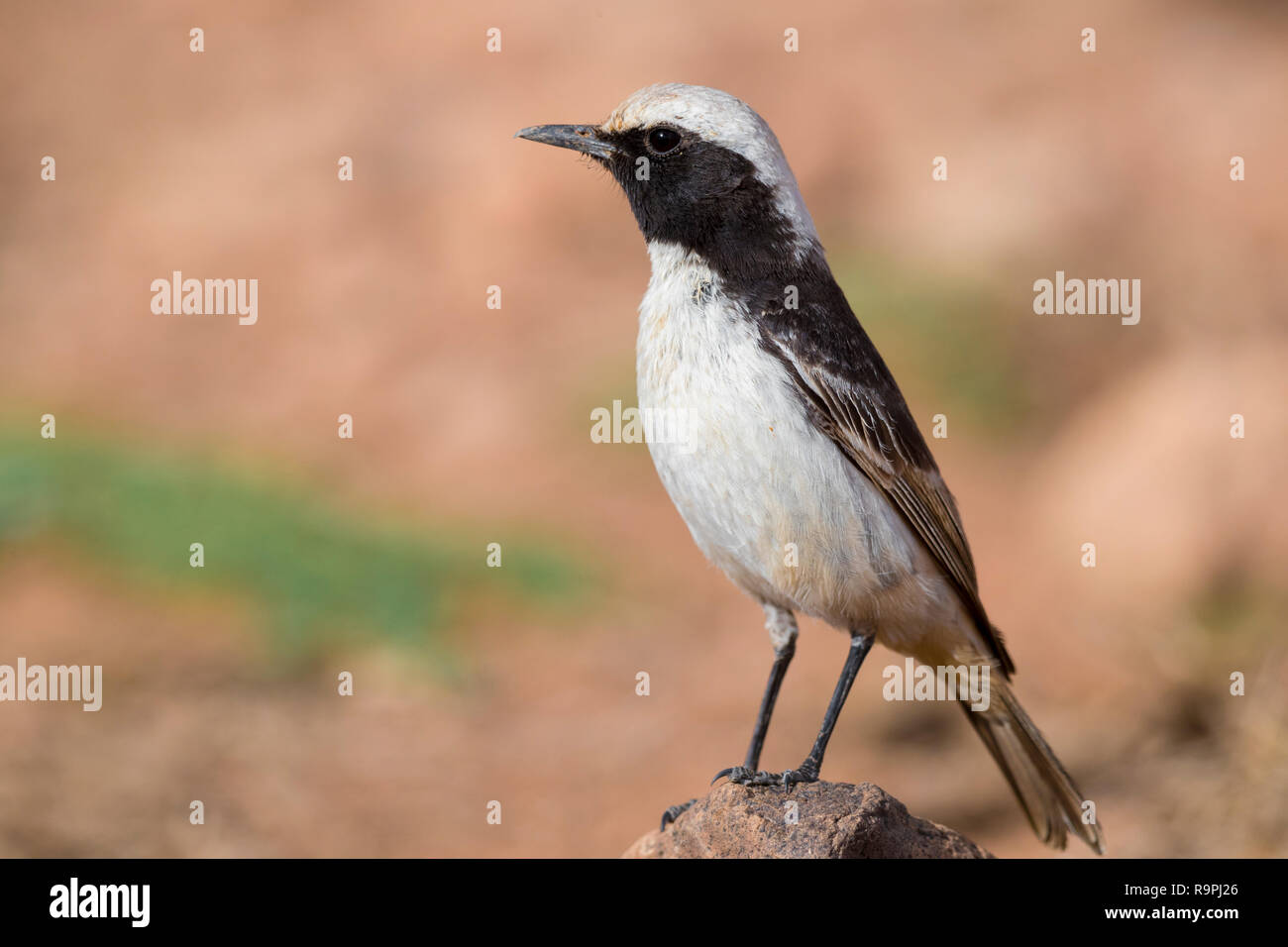 Red-rumped Wheatear (Oenanthe moesta), adult male standing on a stone in Morocco - Stock Image