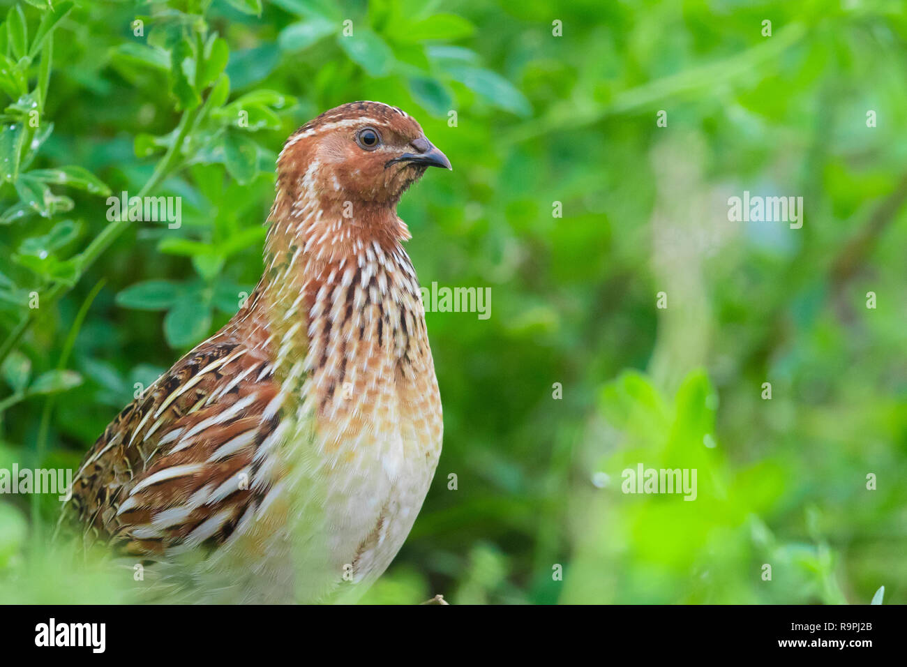 Common Quail (Coturnix coturnix), close-up of a male standing in an Alfalfa field - Stock Image