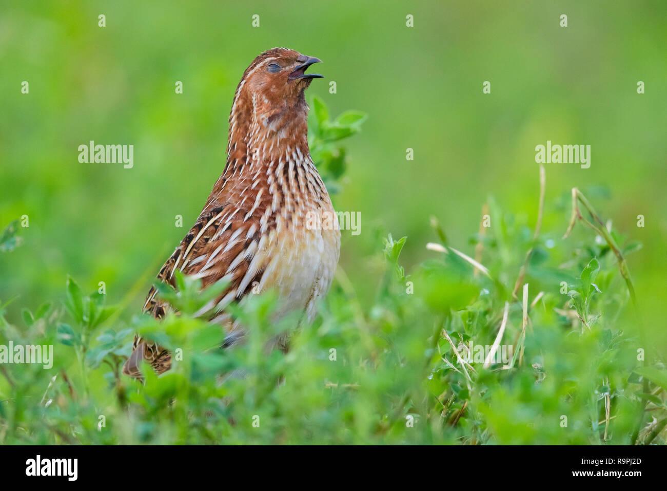 Common Quail (Coturnix coturnix), adult male singing in an Alfalfa field - Stock Image