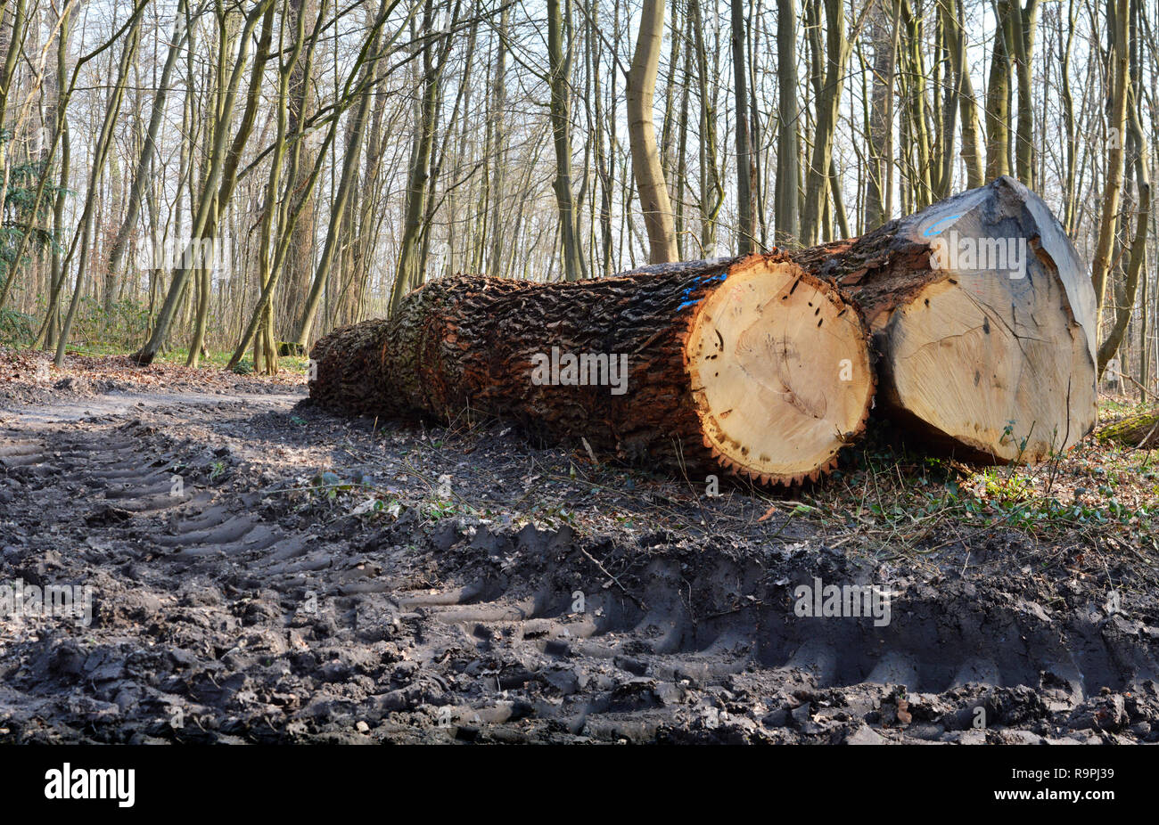 Deforestation in a forest to obtain wood. Ecological disaster - Stock Image