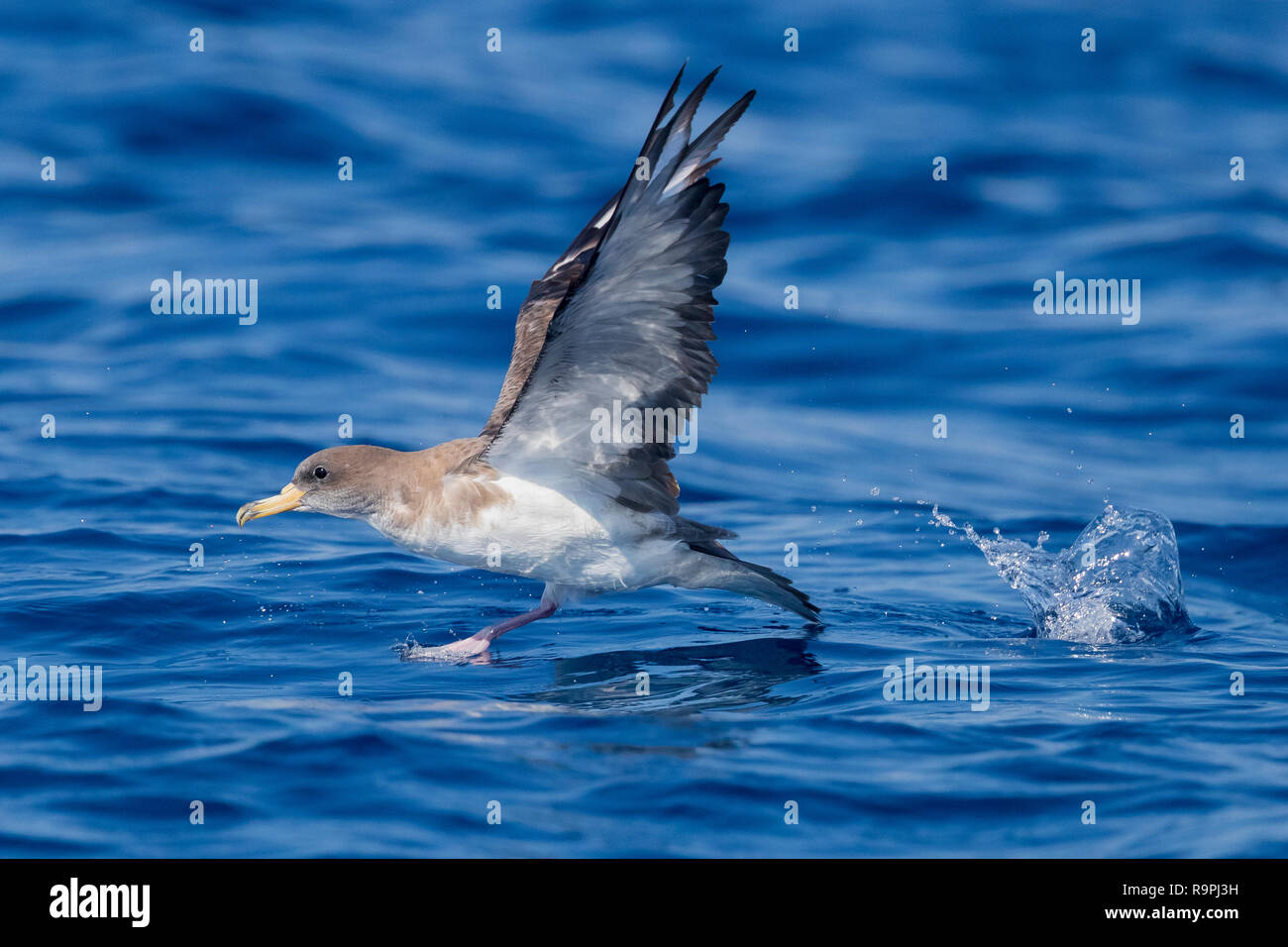Scopoli's Shearwater (Calonectris diomedea), side view of an adult taking off from the water - Stock Image