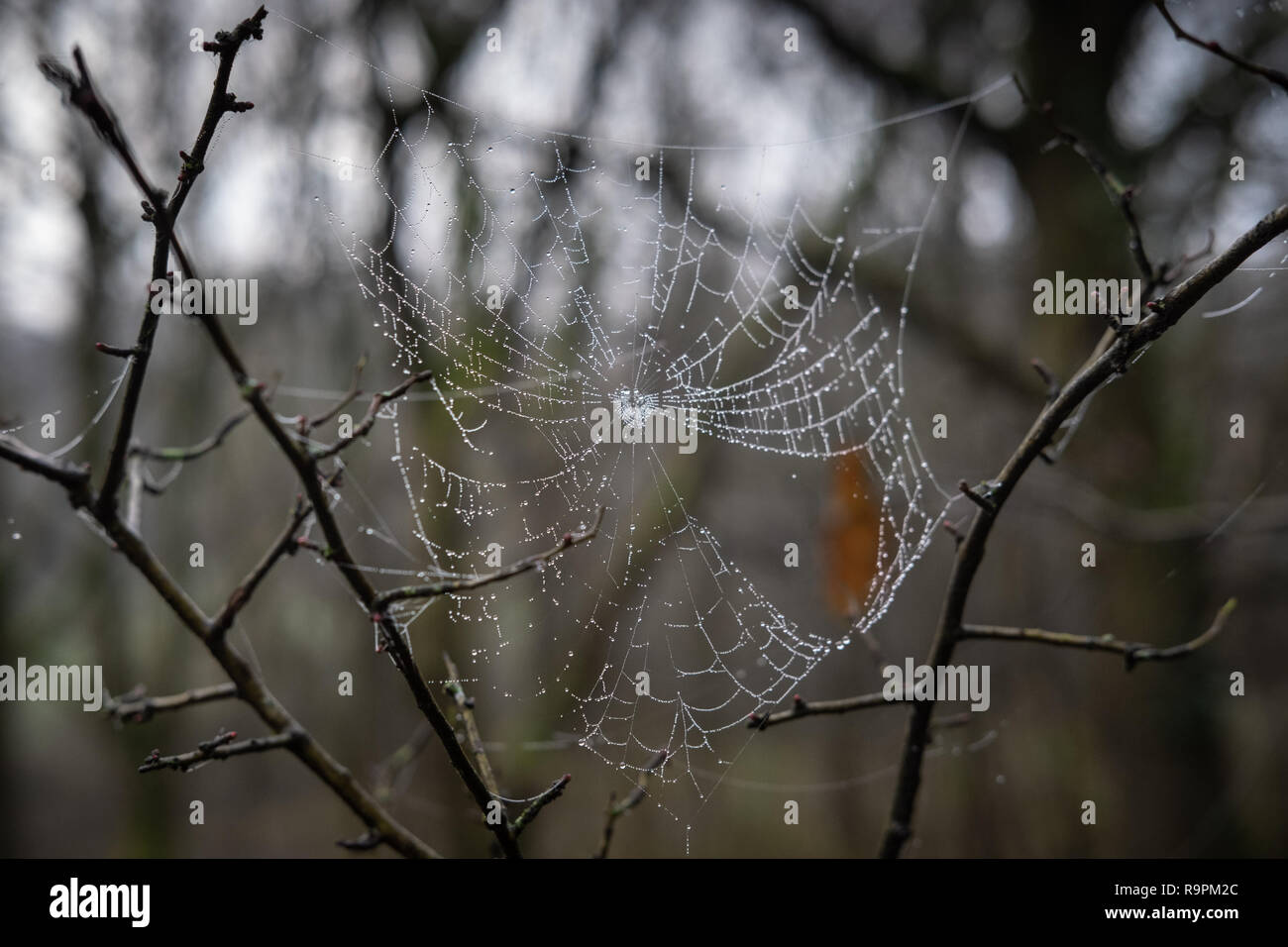 Spider web with dew in the woods - Stock Image