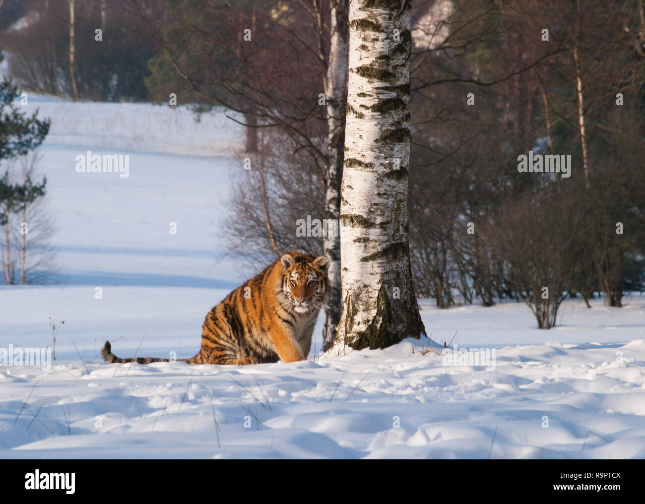 Siberian tiger near birch tree in winter - Panthera tigris altaica Stock Photo