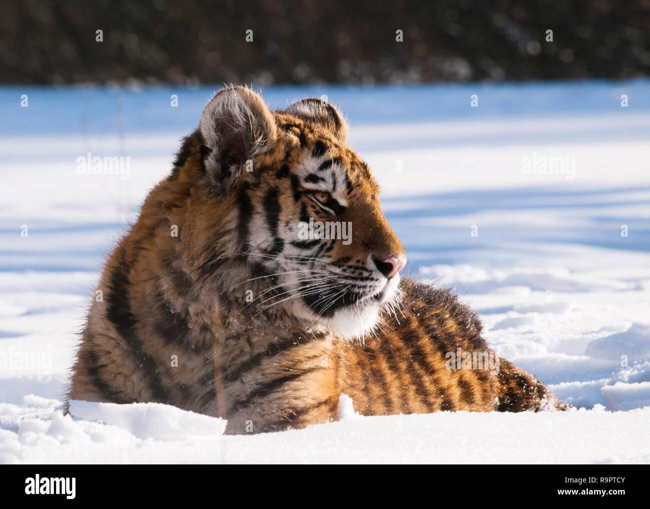 Siberian tiger - Panthera tigris altaica relaxing on snow - Stock Image