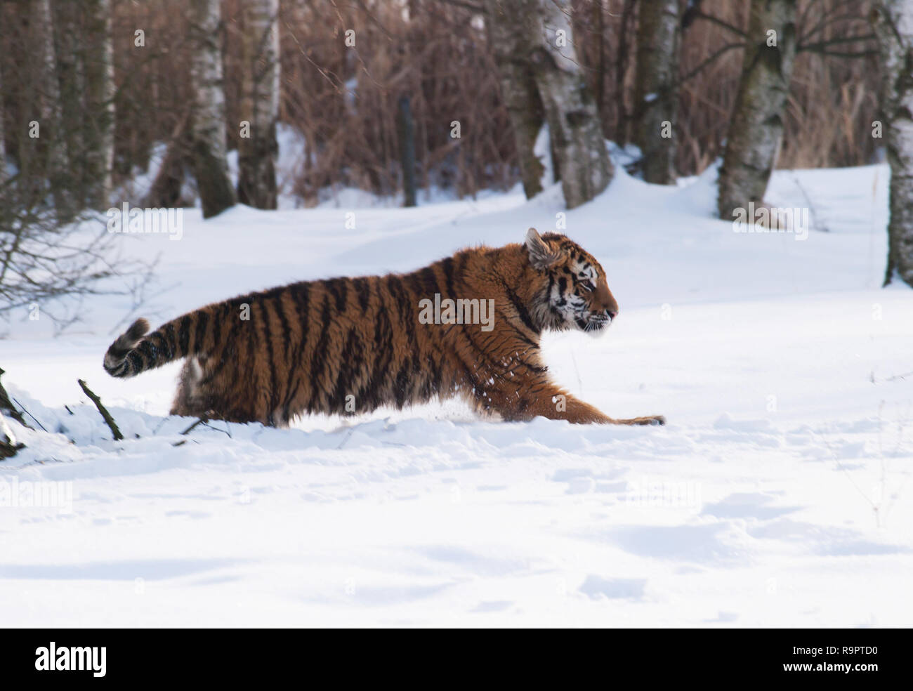 Siberian tiger - Panthera tigris altaica - in winter forest - Stock Image