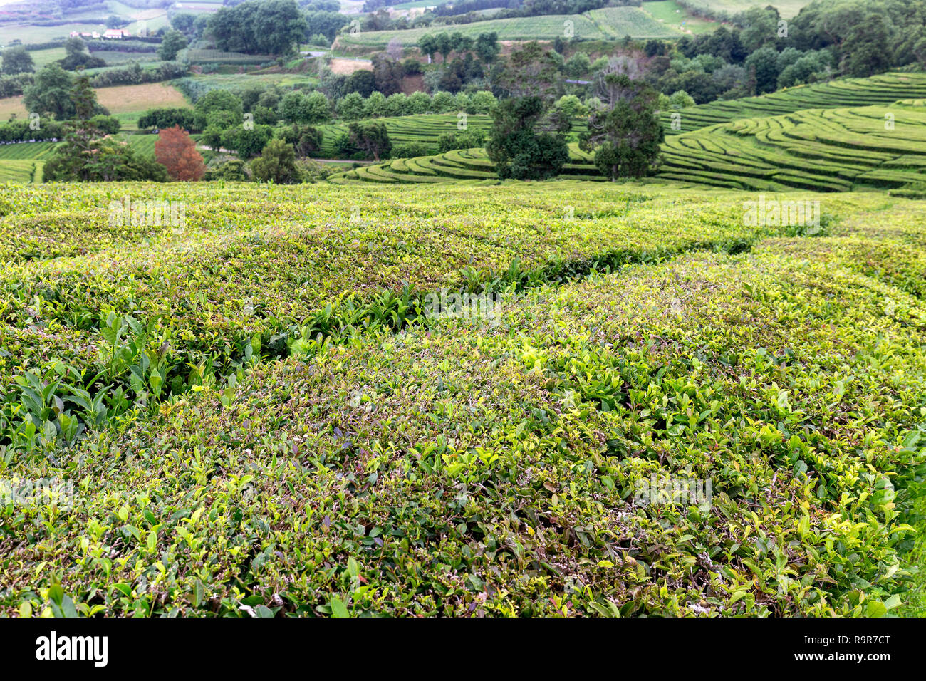 A landscape view of tea growing on the island of Sao Miguel in the middle of the Atlantic Ocean. - Stock Image