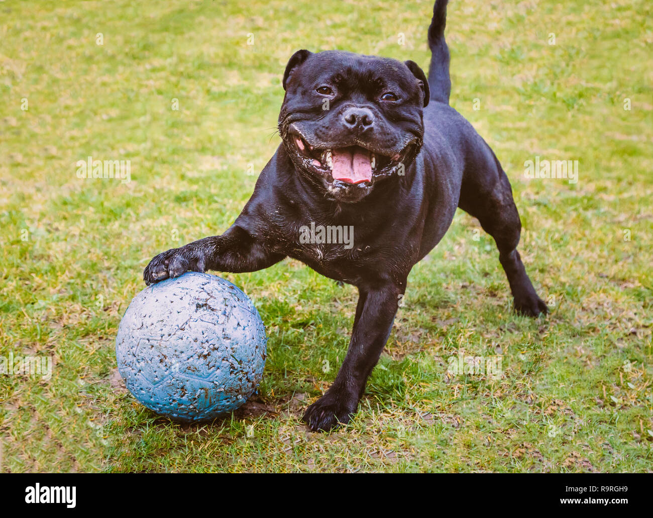 Happy Staffordshire Bull Terrier dog standing with his paw resting on a large ball ball with puncher marks from playing. He is smiling and looks very  - Stock Image