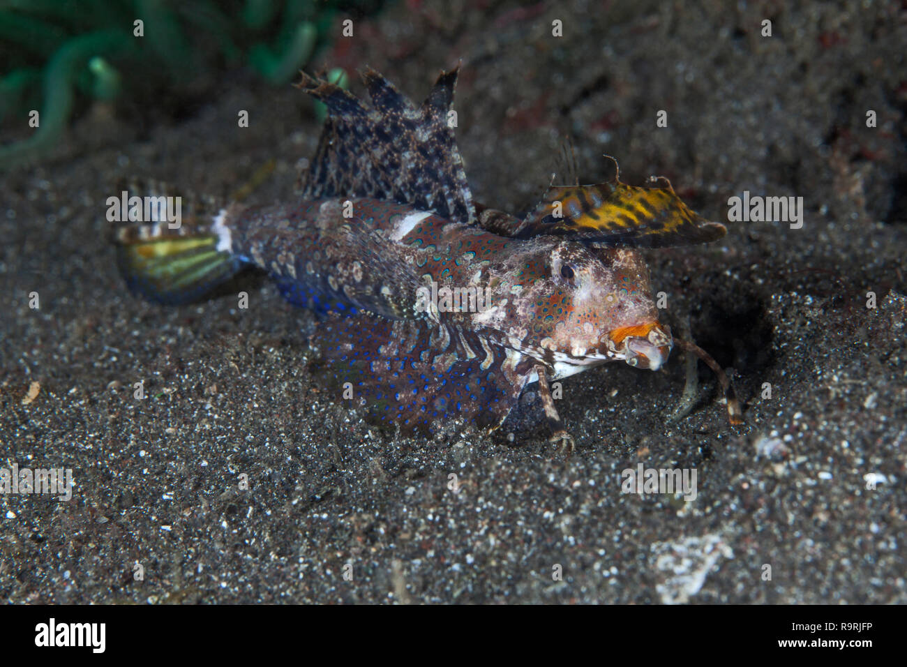 Fingered dragonet (dactylopus dactylopus) feeding on the sea floor in Lembeh Straits, Indonesia. Stock Photo