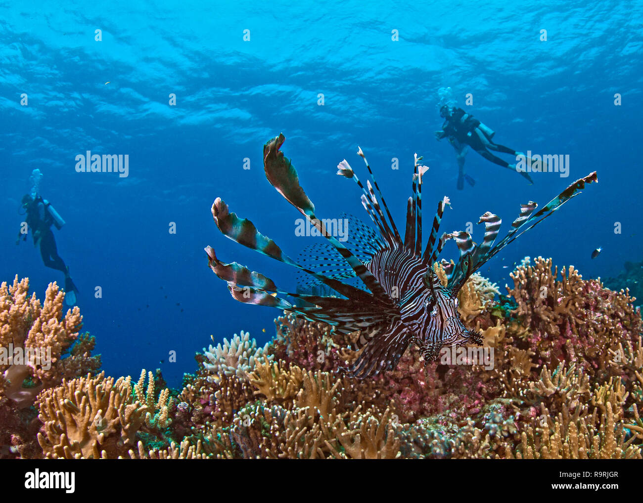 Close focus wide-angle image of lionfish on coral reef with scuba divers in blue water background. Spratly Islands, South China Sea. - Stock Image