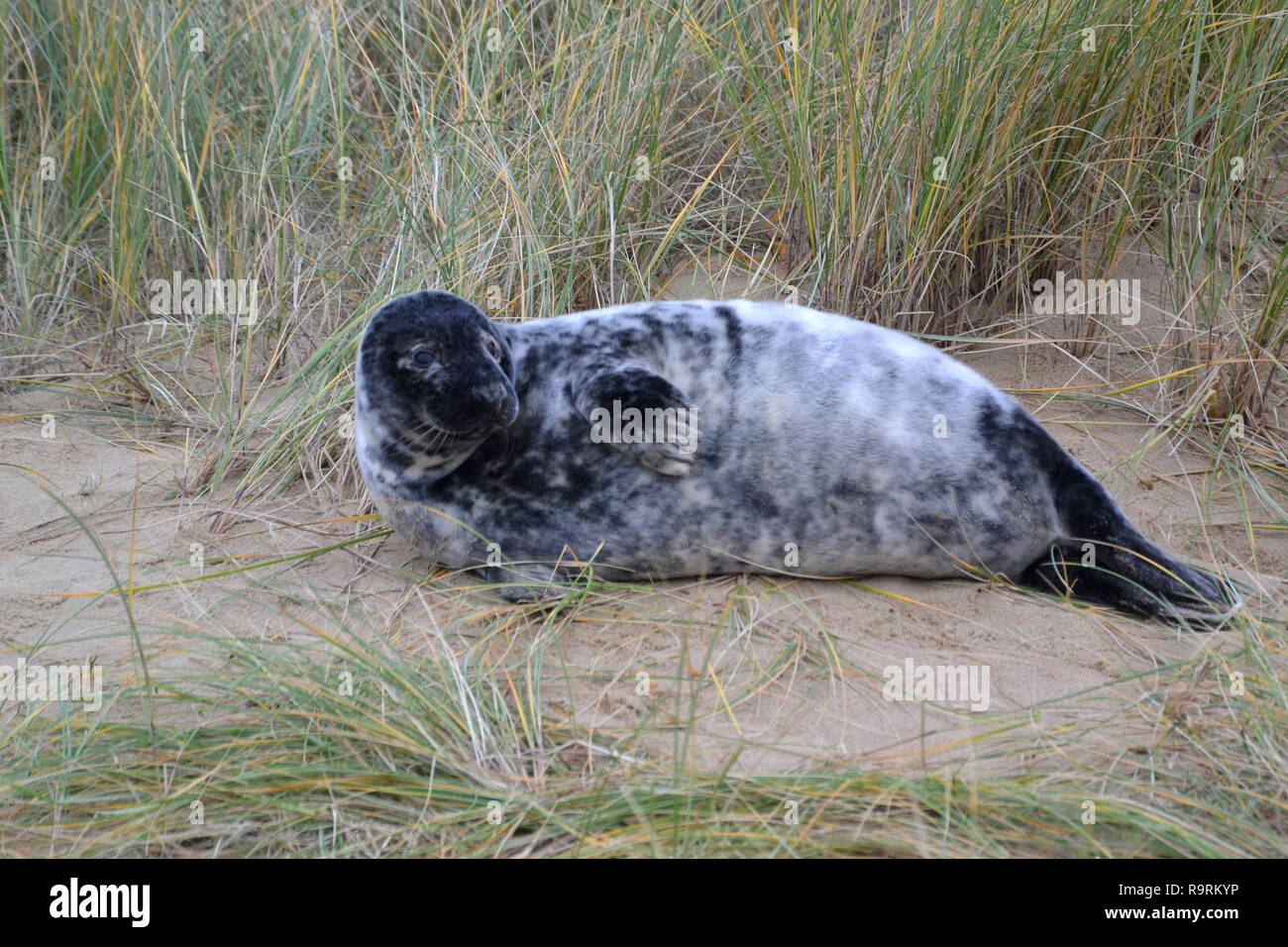 Horsey Beach, Norfolk, UK. 26th Dec, 2018. A young grey seal pup on Horsey Beach, Norfolk, UK on Boxing Day 2018. Every winter a colony of grey seals comes ashore to give birth at Horsey on the Norfolk Coast. When this photographs was taken there were more than 1,000. Credit: Steve Nichols/Alamy Live News Stock Photo