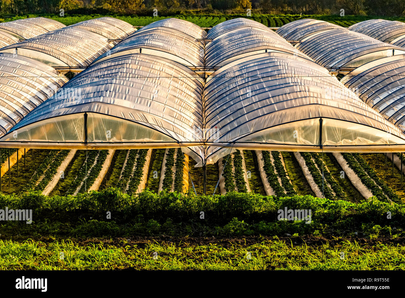 Italy Basilicata Metaponto strawberries grown in greenhouses - Stock Image