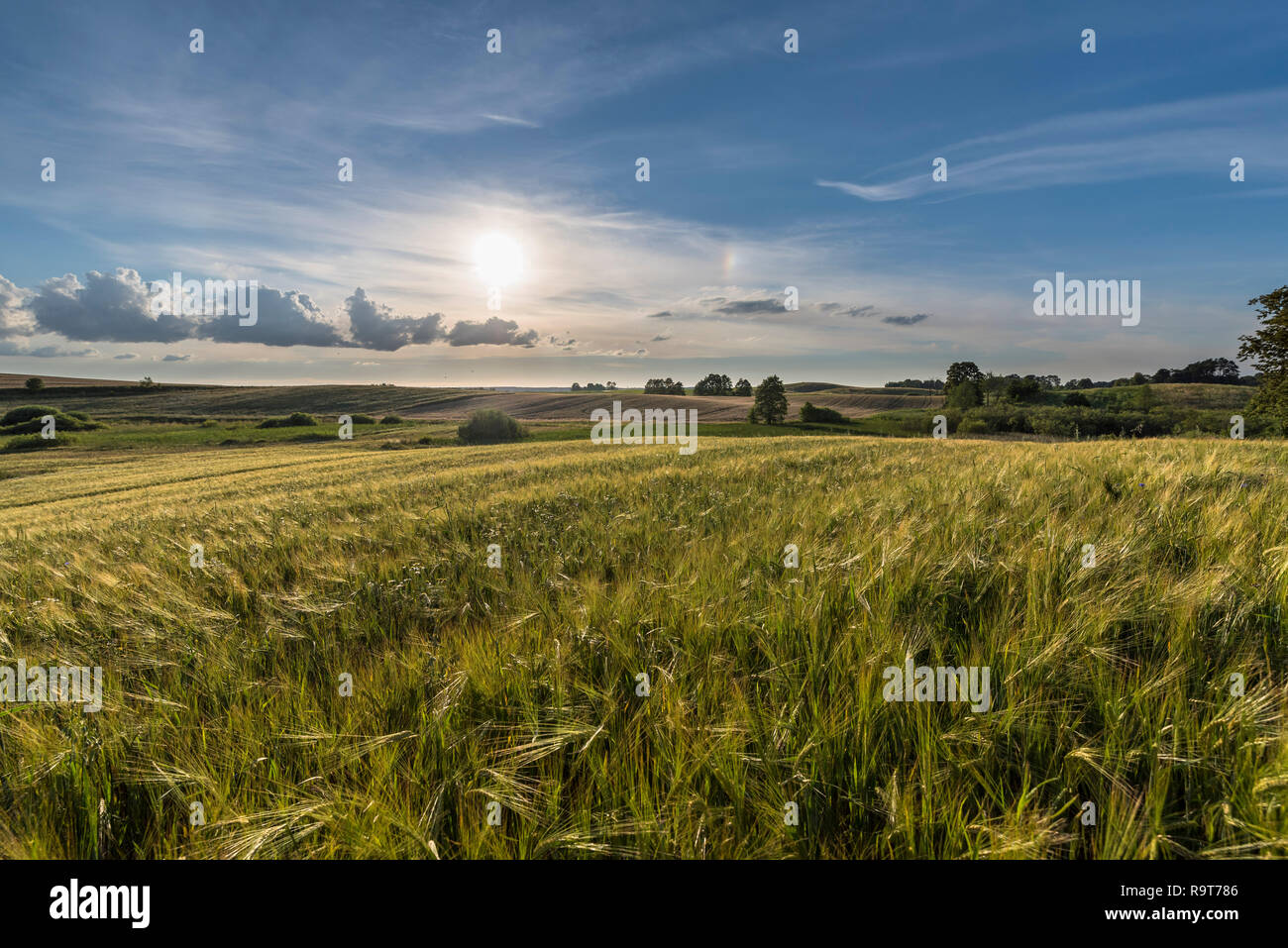 Summer landscape with fields of golden cereals amidst hills under a blue cloudy sky. Poland, Warmia. - Stock Image