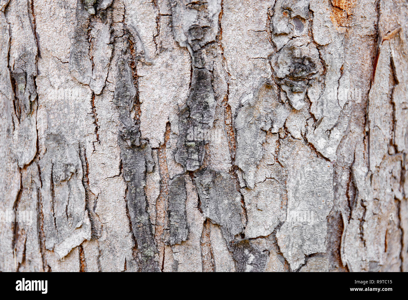 Close-up old tree bark of hardwood with cracked and grungy textured, Abstract nature background. - Stock Image