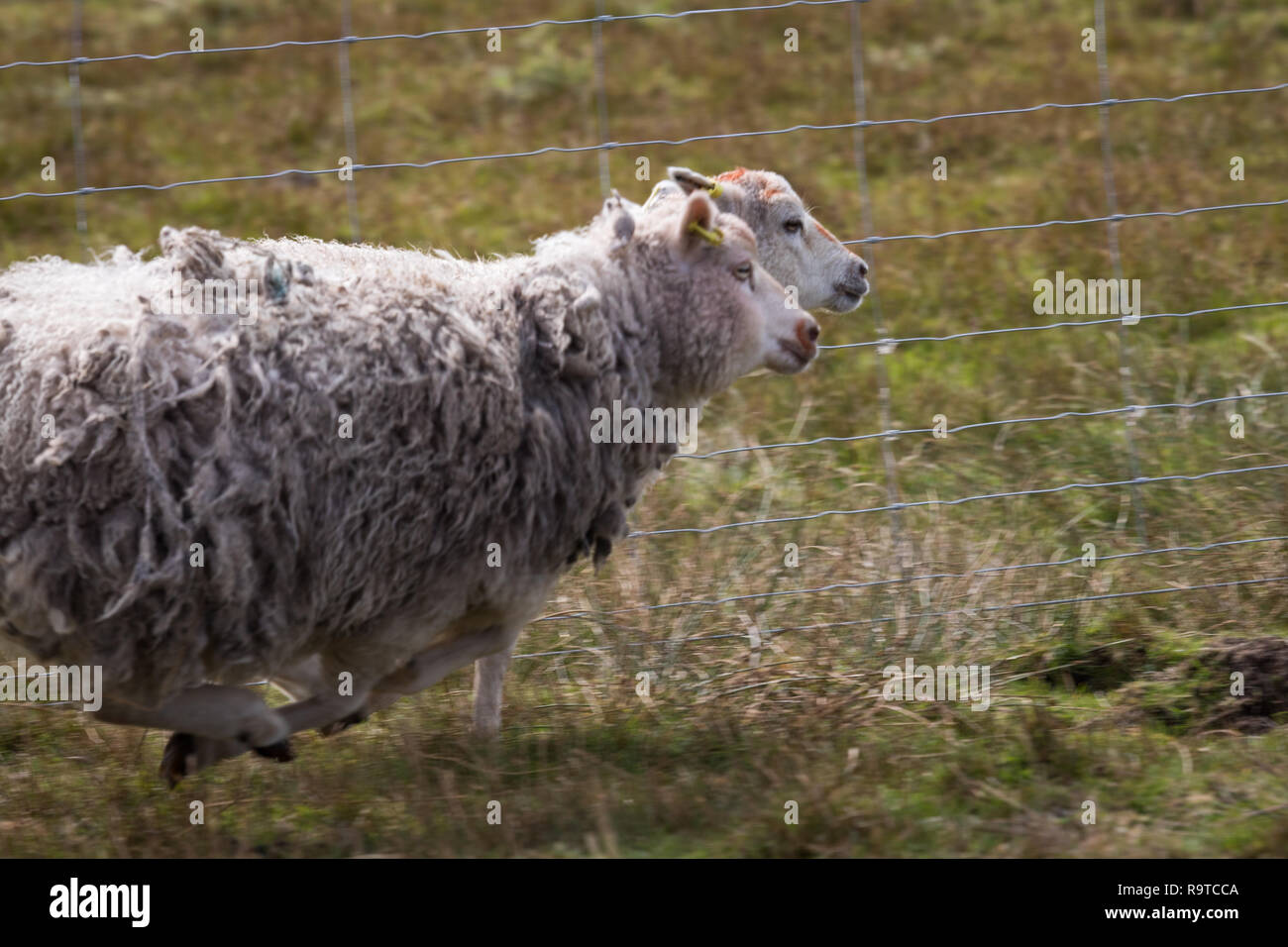 Sheep on the run - Stock Image