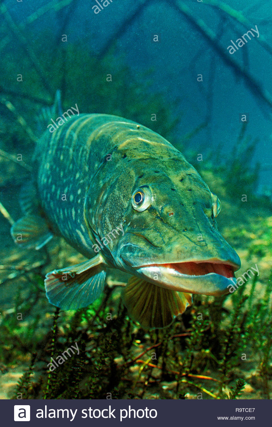 Northern pike (Esox lucius), lurking at lake bed for prey, Baden-Württemberg, Germany - Stock Image