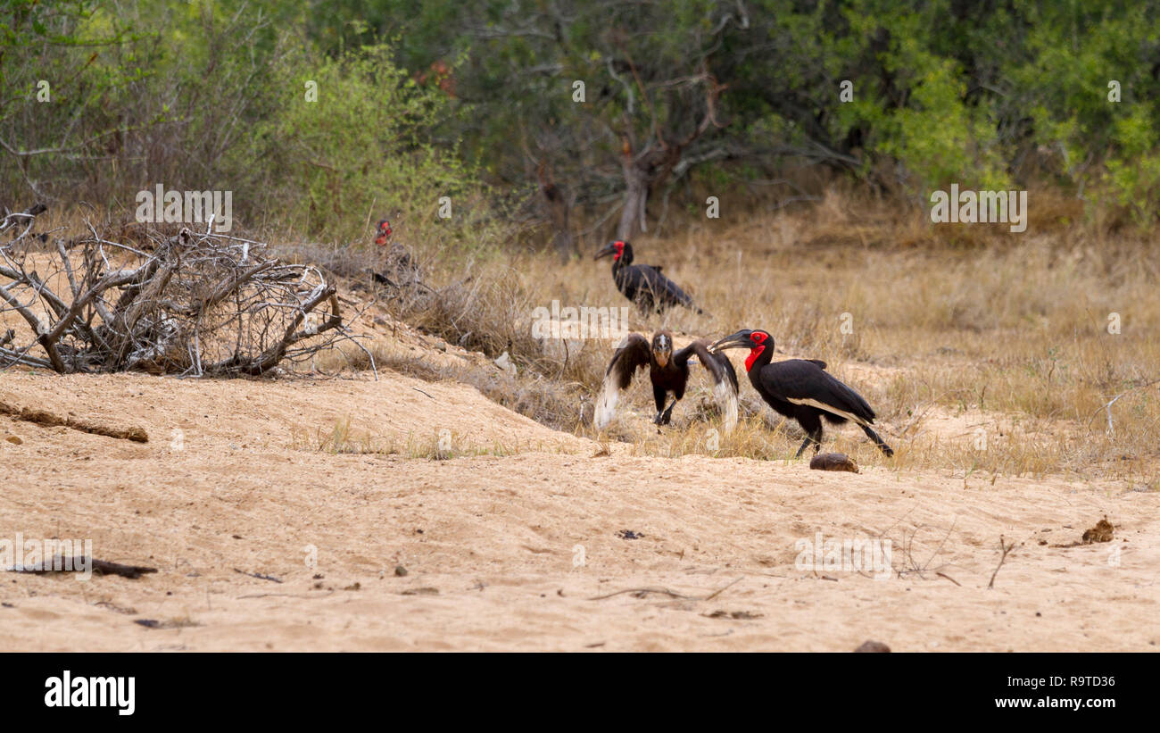 Southern ground hornbill (Bucorvus cafer) feeding frog to juvenile - Stock Image