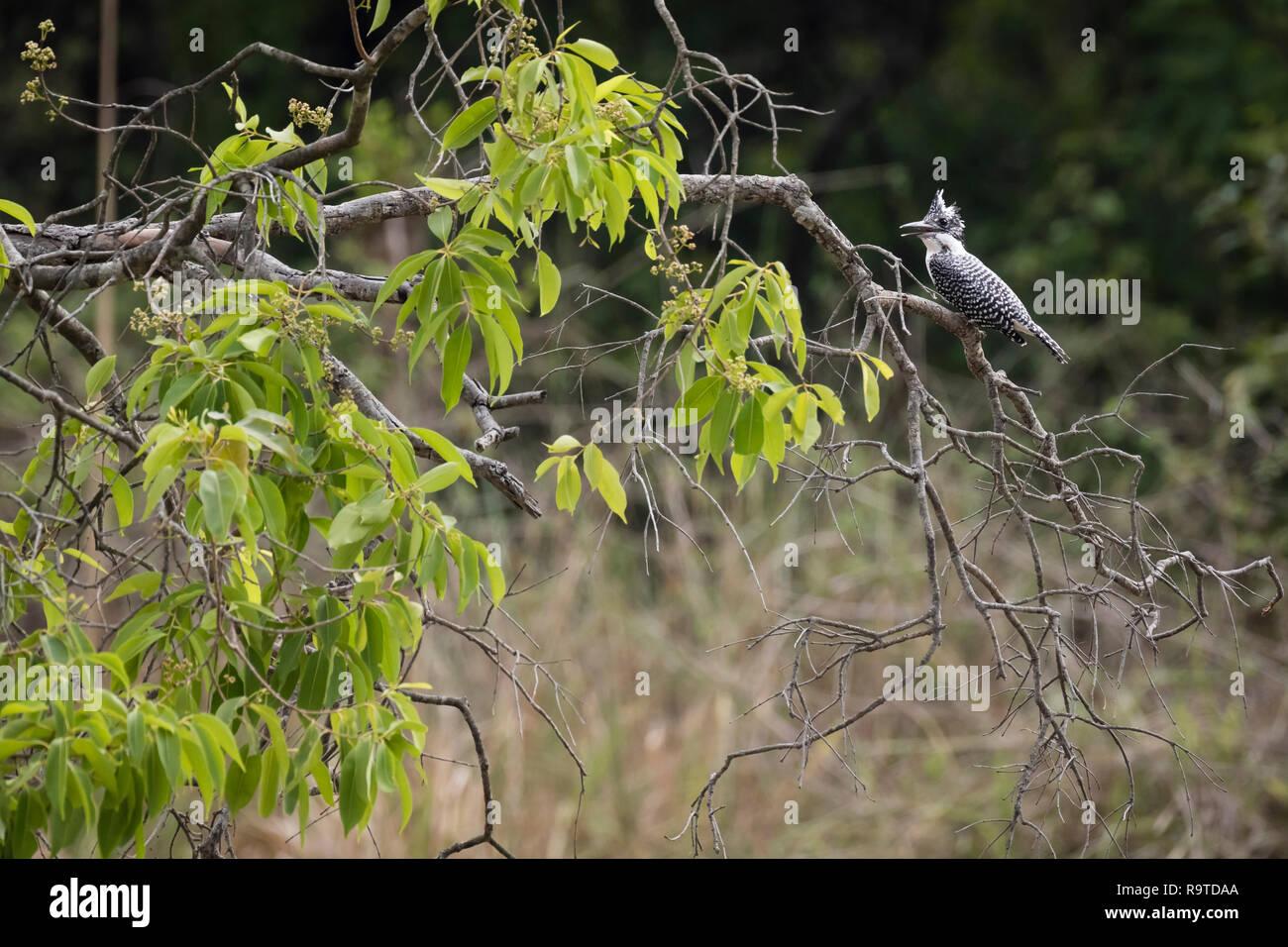 Crested Kingfisher (Megaceryle lugubris) perched on branch. Corbett National Park. Uttarakhand. India. - Stock Image