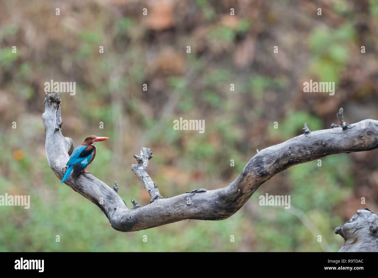 White-breasted Kingfisher (Halcyon smyrnensis) perched on branch. Corbett National Park. Uttarakhand. India. - Stock Image