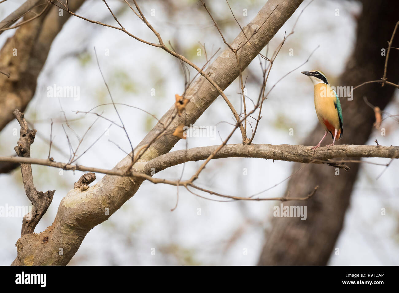 Indian Pitta (Pitta brachyura) perched on branch. Corbett National Park. Uttarakhand. India. - Stock Image