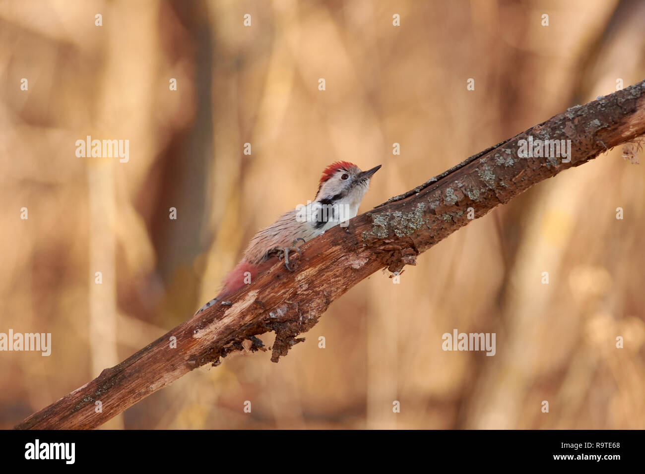 Middle spotted woodpecker (Dendrocoptes medius) hides behind a dry branch from a flying hawk. Stock Photo