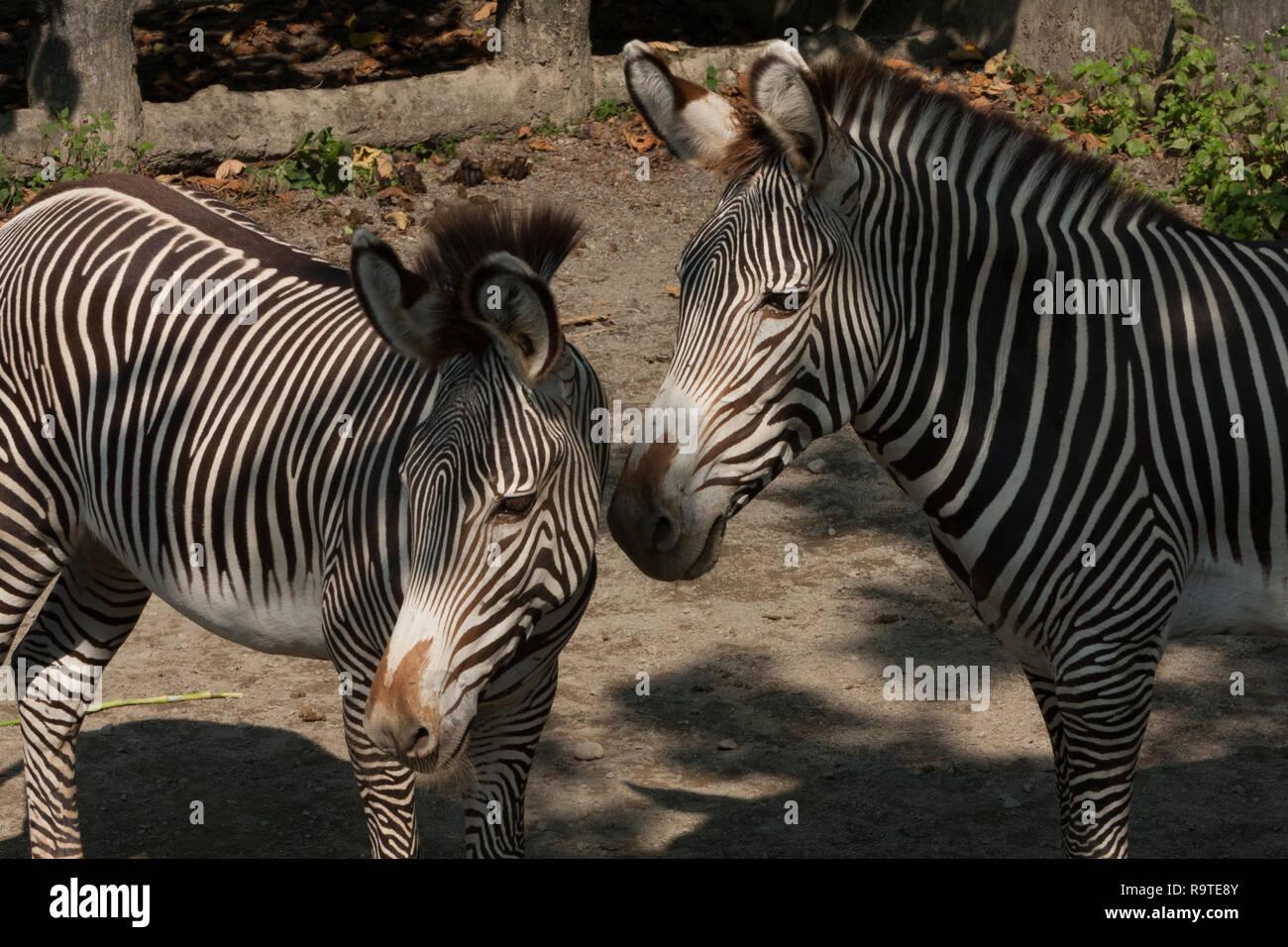 Grevy's zebra (Equus grevyi), aka imperial zebra, adult and young zebra, Taipei Zoo a.k.a. Muzha Zoo, Taipei City, Taiwan Stock Photo