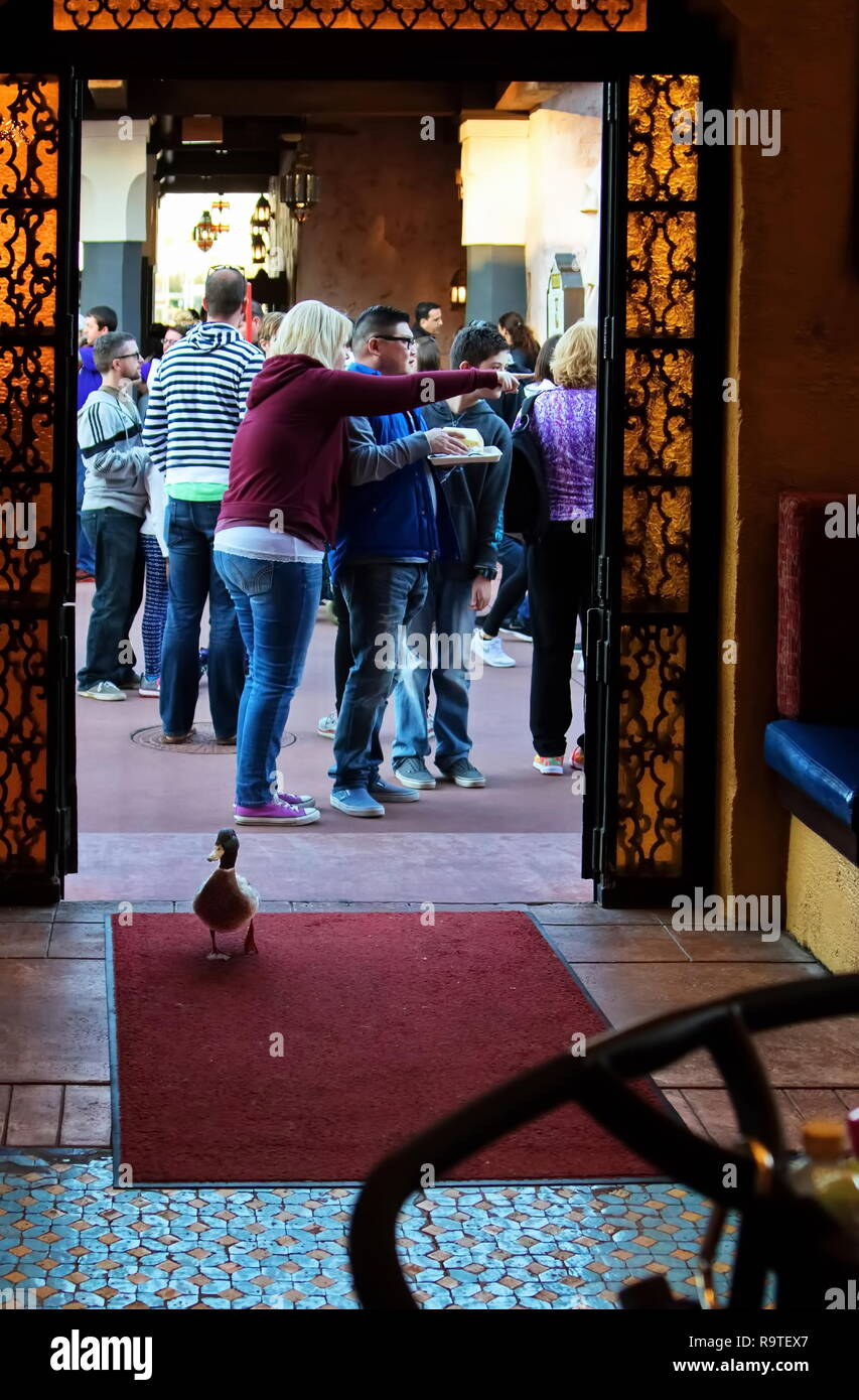 Orlando, FL USA. Feb 2016. A lone and tame duck makes their regular food scavenging run into one of the many restaurants at a theme park. Stock Photo
