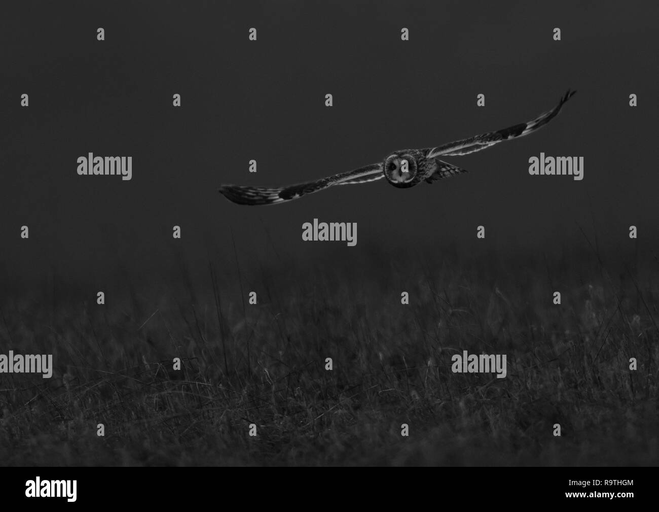 Mono image of a wild Short Eared Owl (Asio Flammeus) in flight against a black background, Gloucestershire - Stock Image