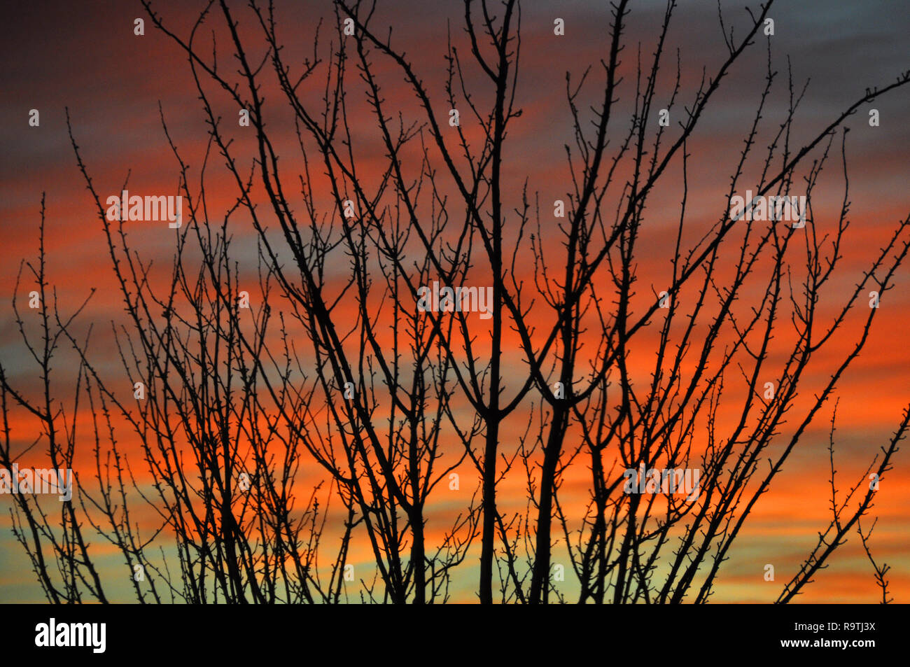 Winter sunset with silhouette of cherry tree - Stock Image