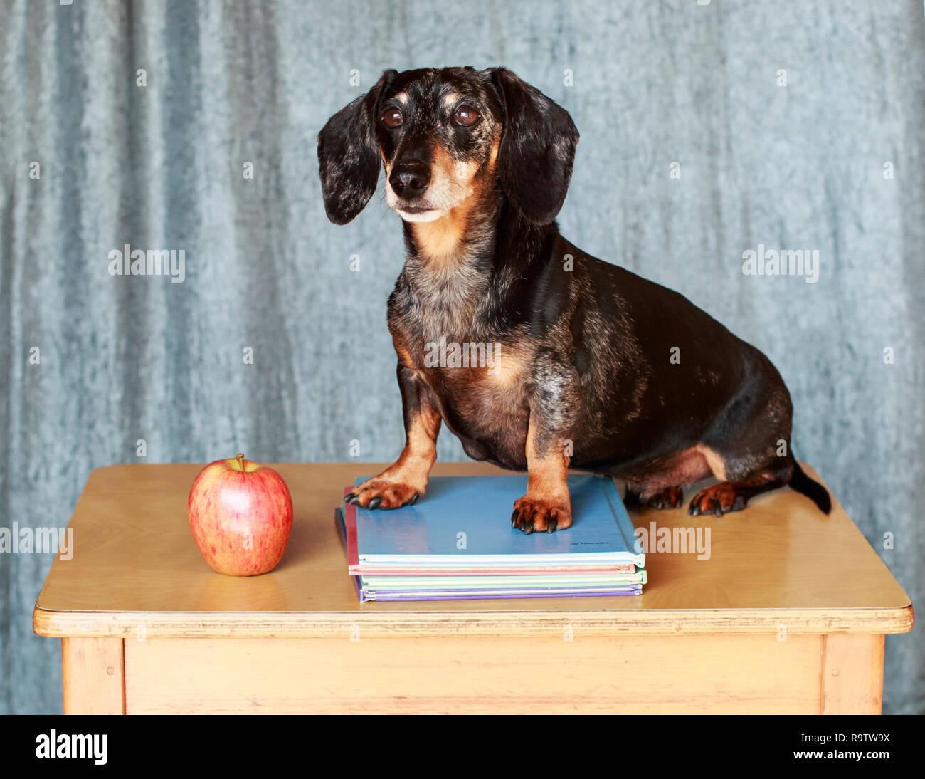 Dapple Dachshund Sitting on a school desk - Stock Image