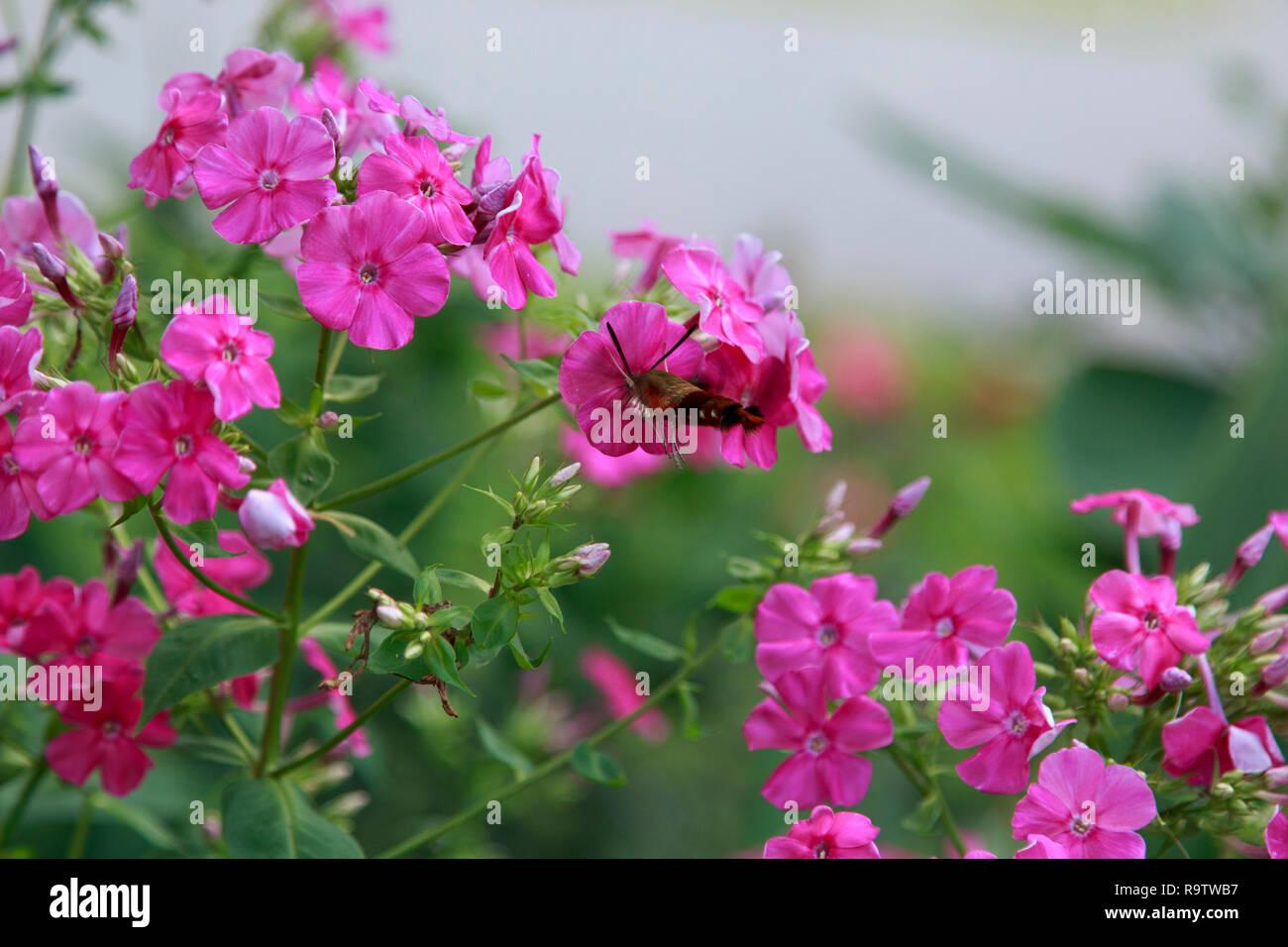 Hummingbird Moth nectaring Pink Phlox - Stock Image