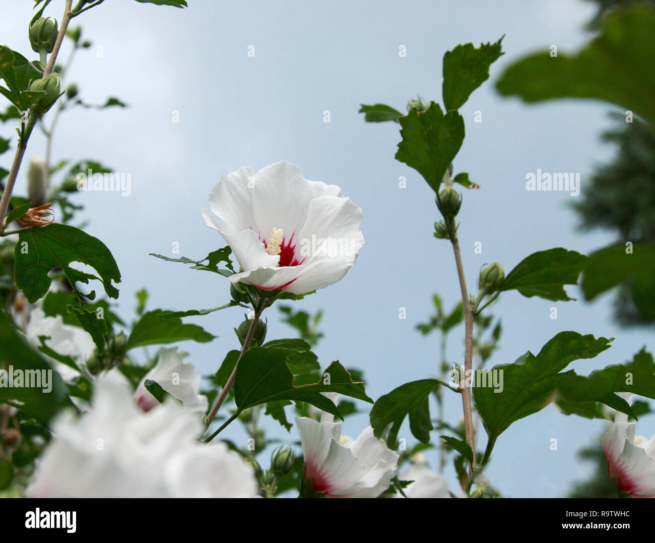 Hardy Hibiscus Tree Stock Photos Hardy Hibiscus Tree Stock Images