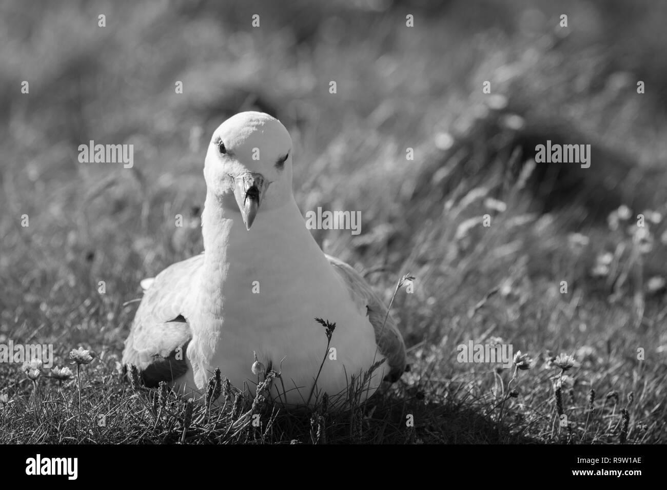 Fulmar on Sumburgh Head, Shetalnd islands, UK - Stock Image