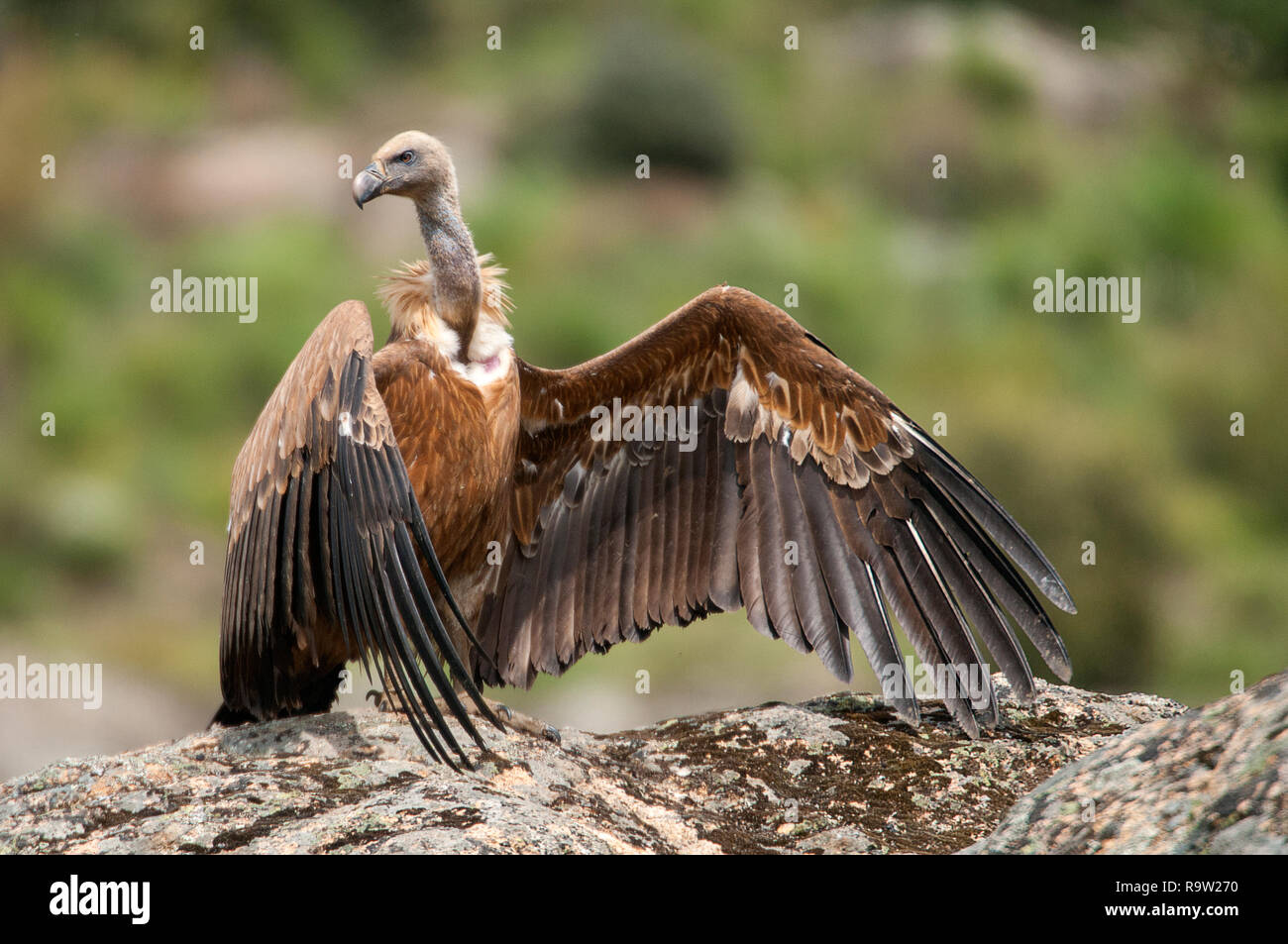 Griffon vulture, Gyps fulvus, large birds of prey sitting on the stone in a mountain Stock Photo