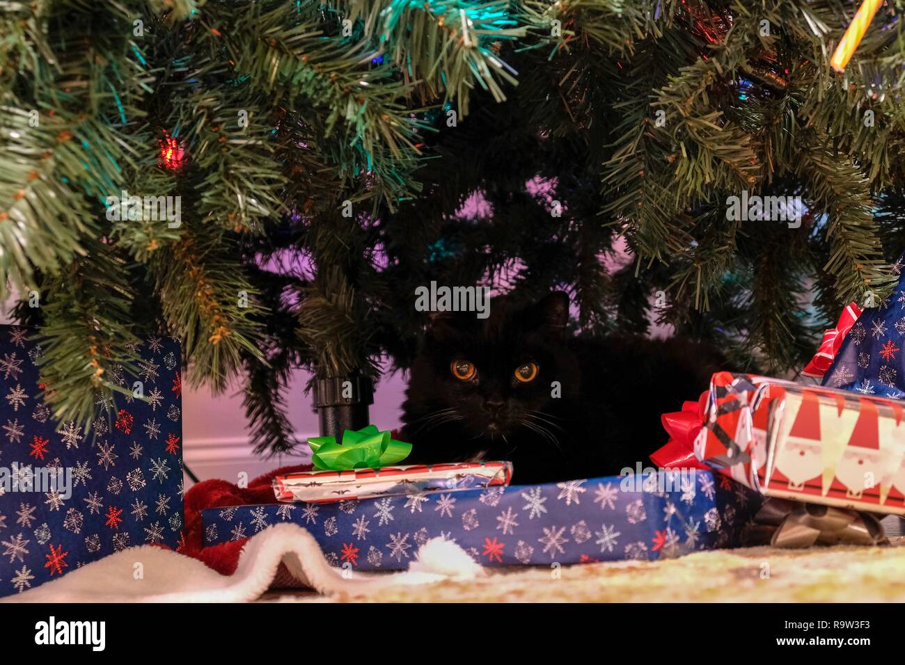 A black cat is crouched under the Christmas tree, cautiously watching from the shadows. - Stock Image
