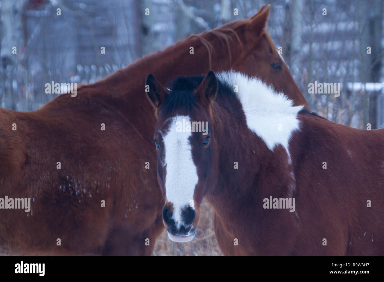 Horses together in pasture in rural southern Alberta, where ranching dominates the Canadian province: equine, equine friends, ranching Stock Photo