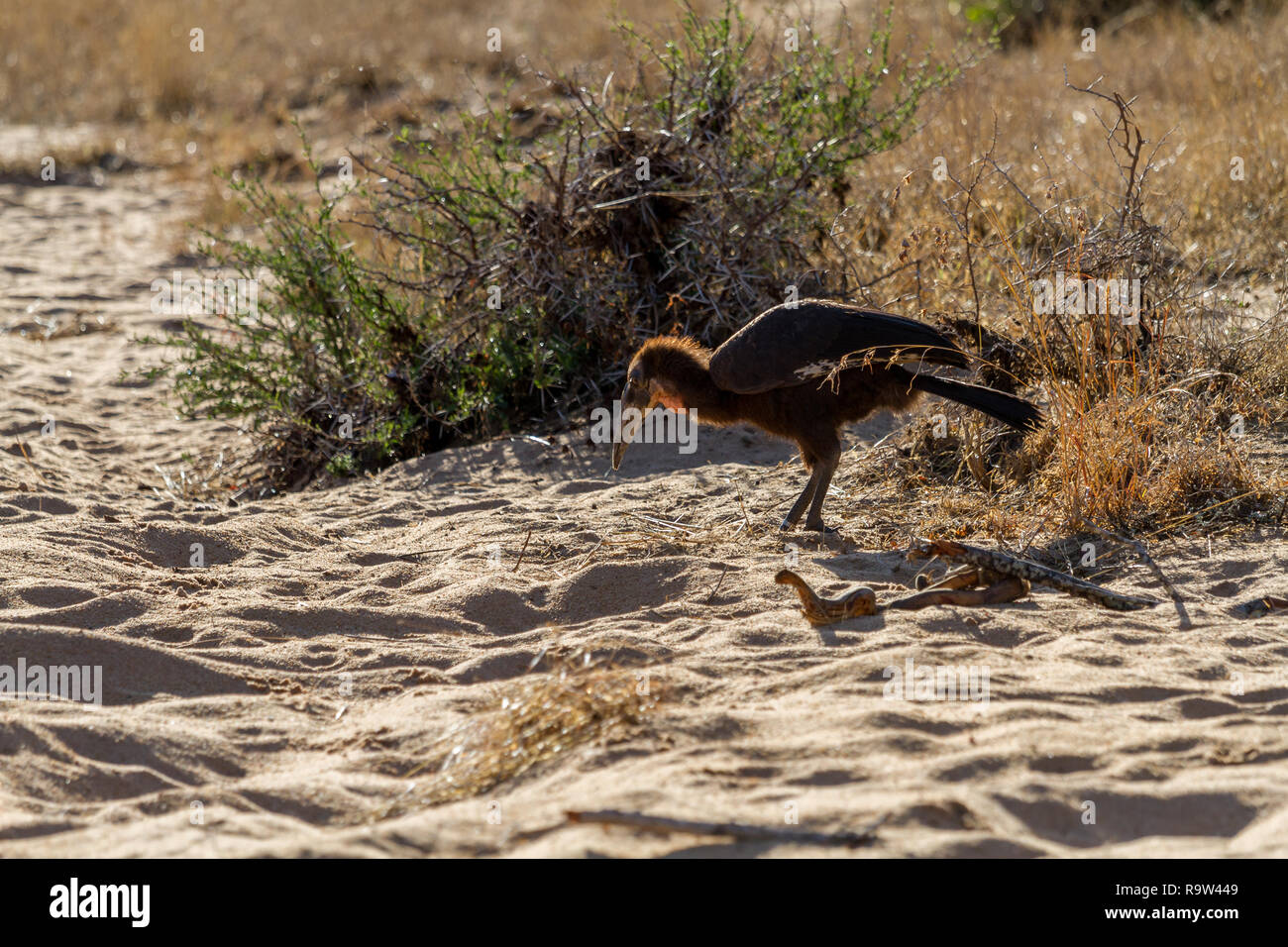 Juvenile ground hornbill chick (Bucorvus leadbeateri) on the ground scavenging for food, South Africa - Stock Image