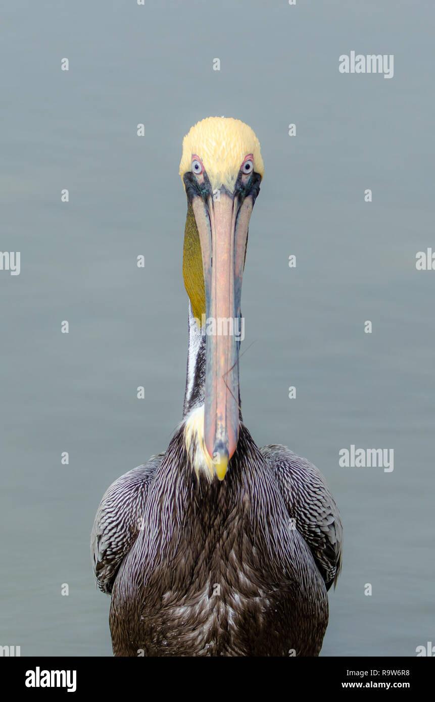Frontal view of a brown pelican (Pelecanus occidentalis) in Florida's coastal wetlands - Stock Image