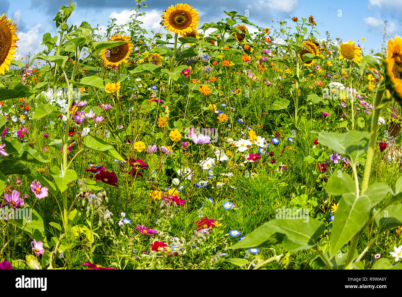 Beautiful summer background - Colorful sunny flower field with wild flowers - Stock Image