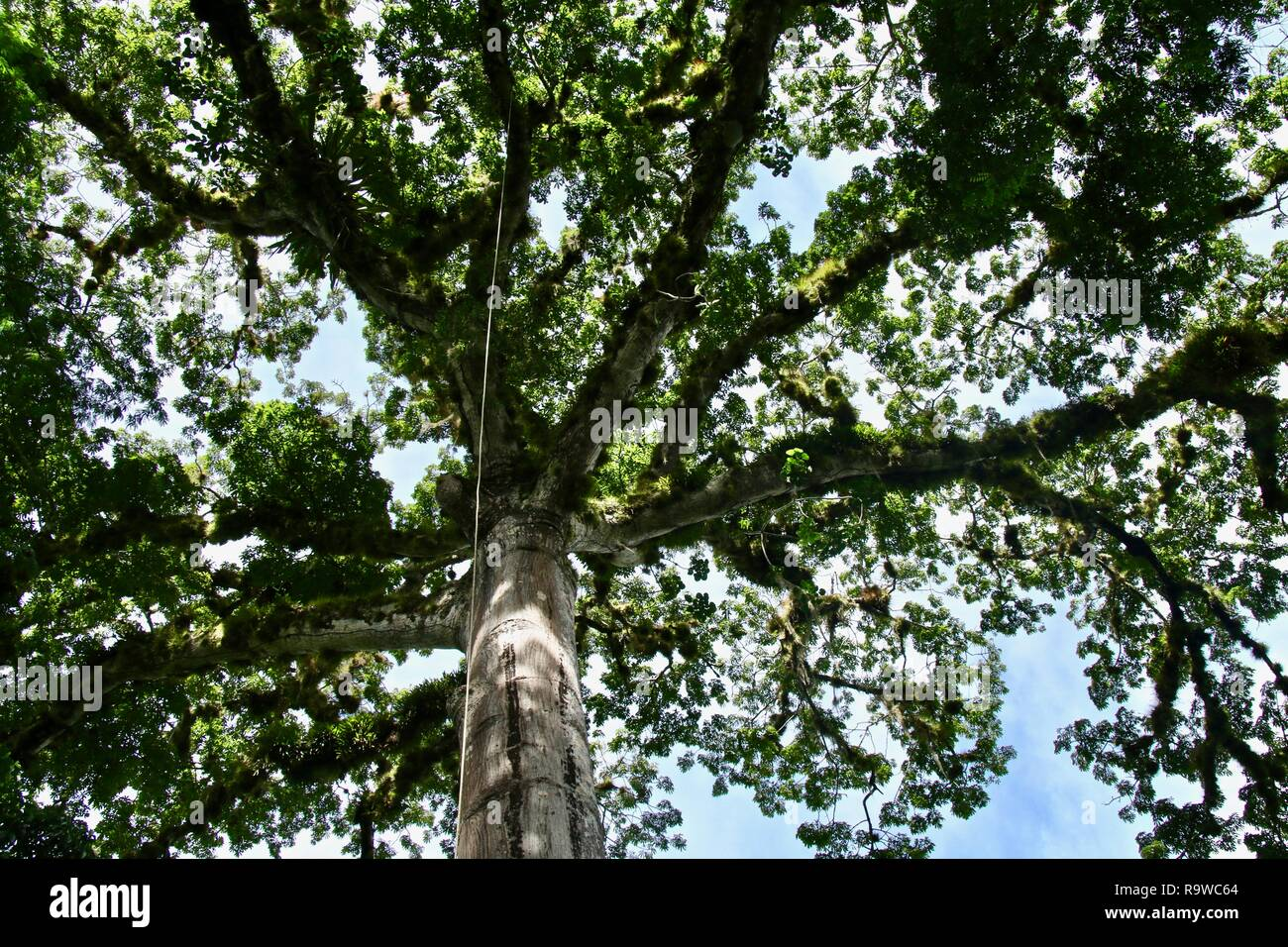 In the jungle lying under a giant white ceiba trees canopy and looking up into the sky, this tree is sacred to the Maya - Stock Image