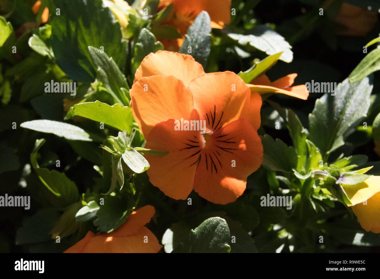 Orange pansy - Stock Image